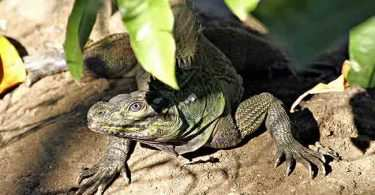 Sailfin Lizard in Jasaan, Mis Or
