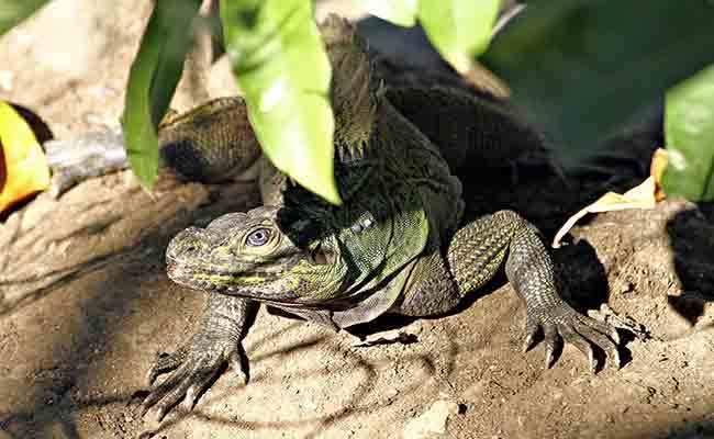 Sailfin Lizard in Jasaan, Mis Or