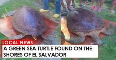 A Green Sea Turtle found on the shores of El Salvador